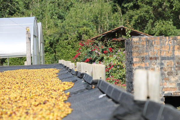 Brazil Sul Minas Natural-Process AAA. Available at Continental (NJ) and Salisbury (MA)