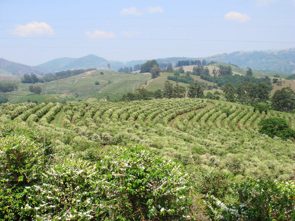 Brazil Fazenda Barreiro Pulped-Natural Microlot. NEW ARRIVAL!