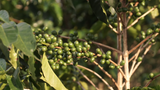 Burundi Kinyovu Washing Station, Matongo Micro-lot. Available only in Salisbury (MA)