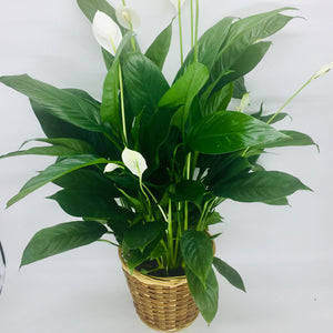 "6"" Peace Lilly (Spath)"