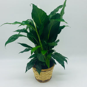 "4"" Peace Lilly (Spath)"
