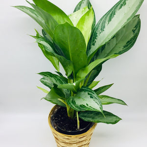 "6"" Chinese Evergreen"