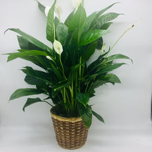 "Load image into Gallery viewer, 6"" Peace Lilly (Spath)"