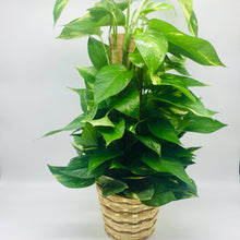 "Load image into Gallery viewer, 6"" Pole Ivy (Pothos Pole)"