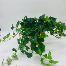 "Load image into Gallery viewer, 6"" English Ivy"