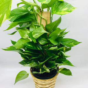 "6"" Pole Ivy (Pothos Pole)"