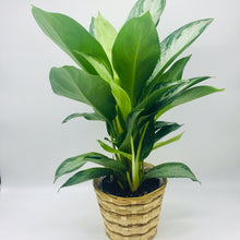 "Load image into Gallery viewer, 6"" Chinese Evergreen"