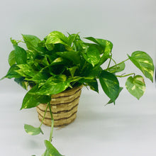"Load image into Gallery viewer, 6"" Pothos Ivy"