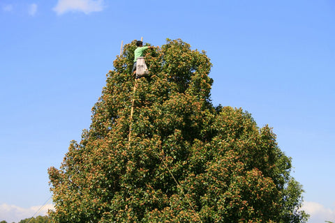 Man harvesting cloves from the top of a tall clove tree