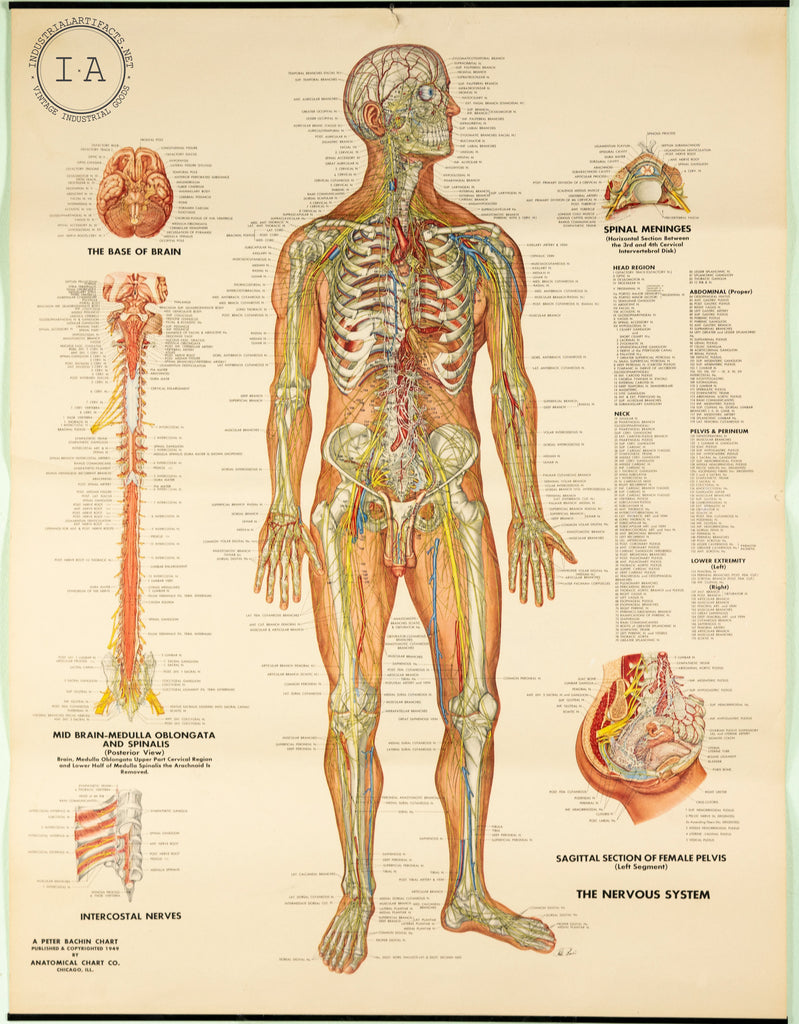 C. 1949 Human Anatomy Nervous System Chart Male and Female