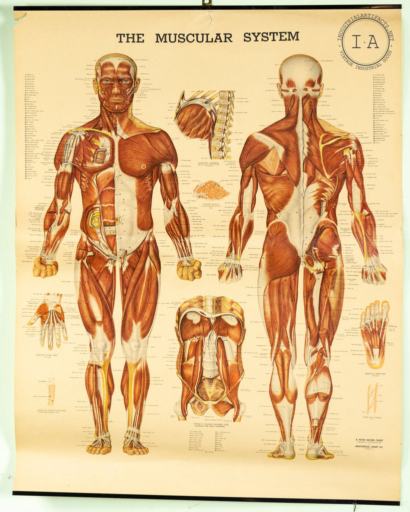 C. 1947 Human Anatomy Muscular System Chart