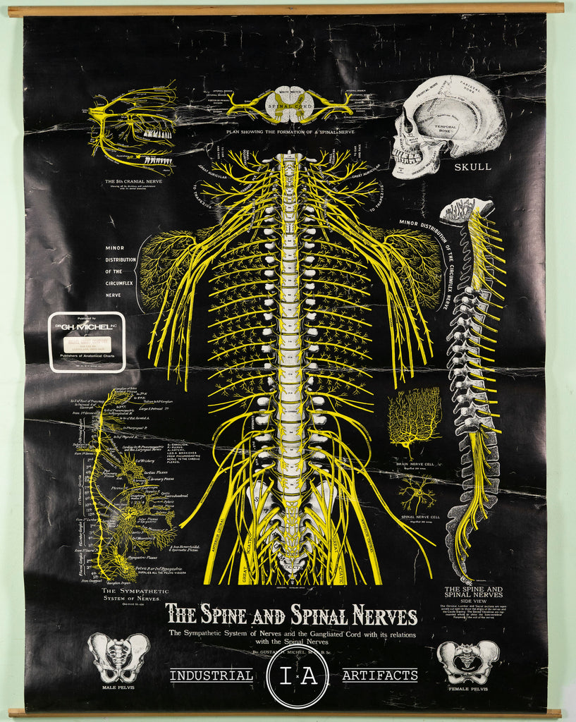 Vintage Spinal Nerve Chiropractic Chart
