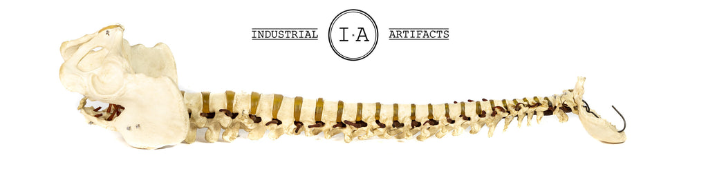 Flexible Vertebral Spinal Column With Pelvis Medical Model