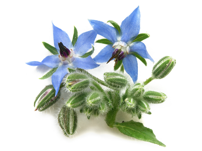Borage Oil - 18% GLA Organic