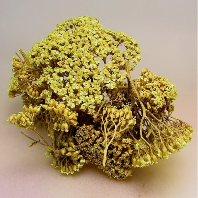 Dried Yarrow Flower, Achillea Millefolium | GULA MAGICK
