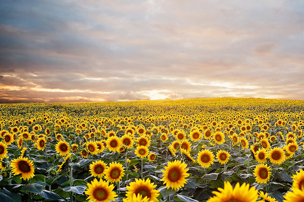 Dorado Sunflower Fields and Bee Sanctuary Project