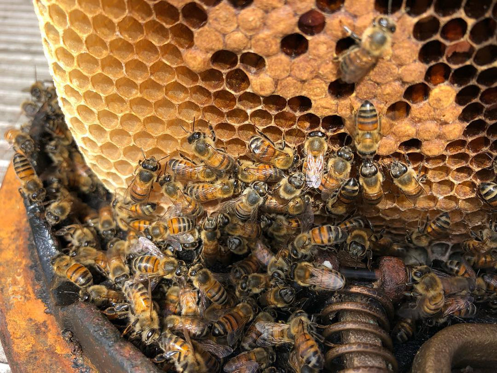 wild honeybees and honeycomb