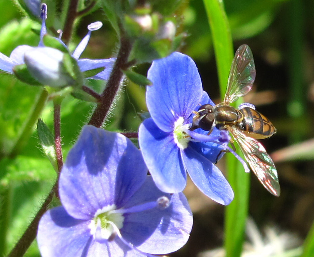 wildflower guide for bees