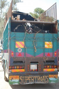 cow-truck1