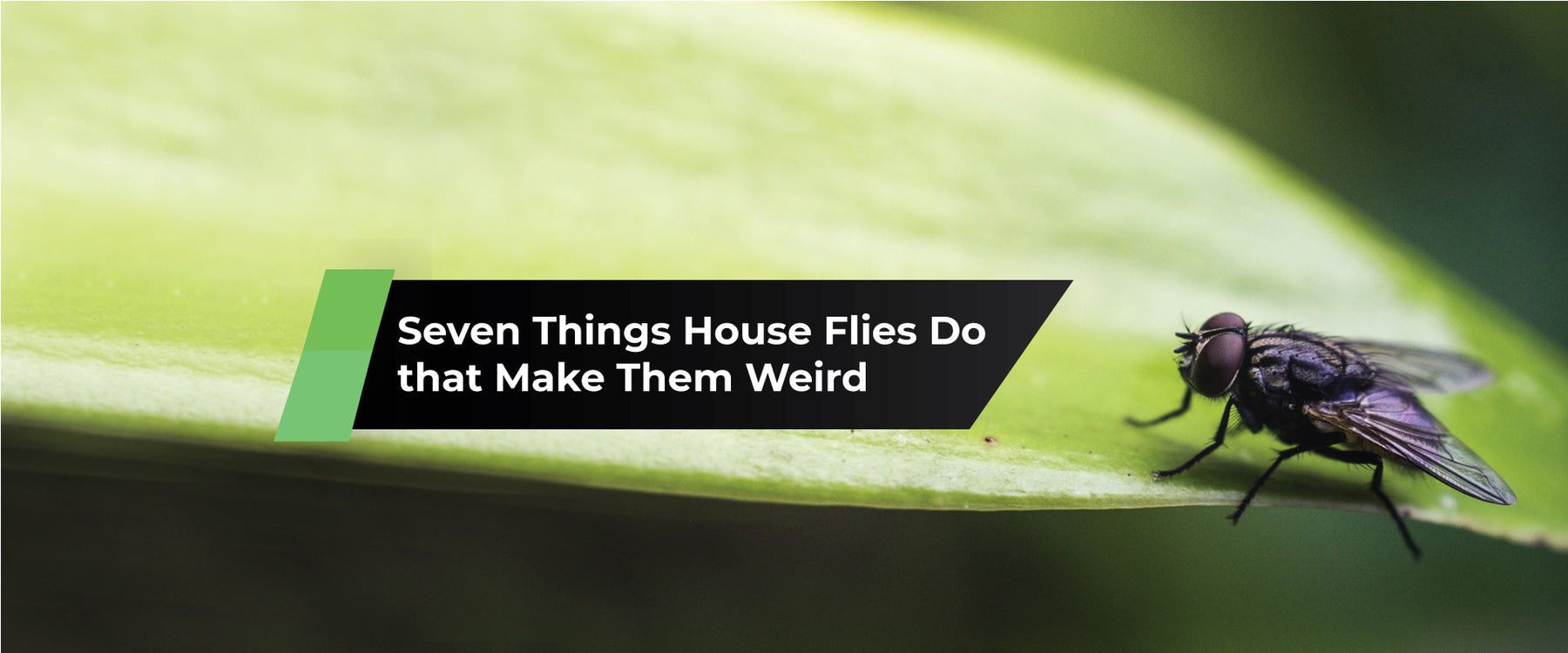 Seven Things House Flies Do that Make Them Weird