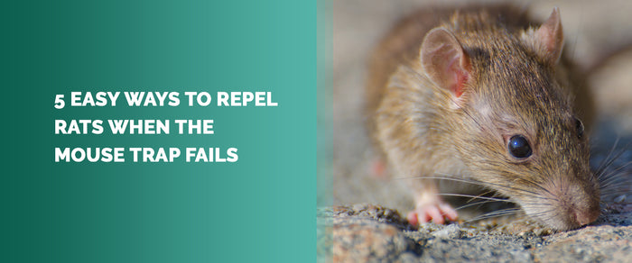 5 Easy Ways to Repel Rats When The Mouse Trap Fails