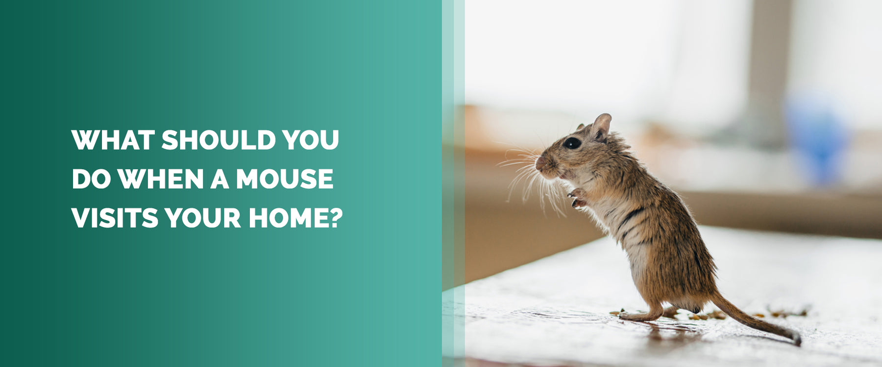 What Should You Do When A Mouse Visits Your Home?