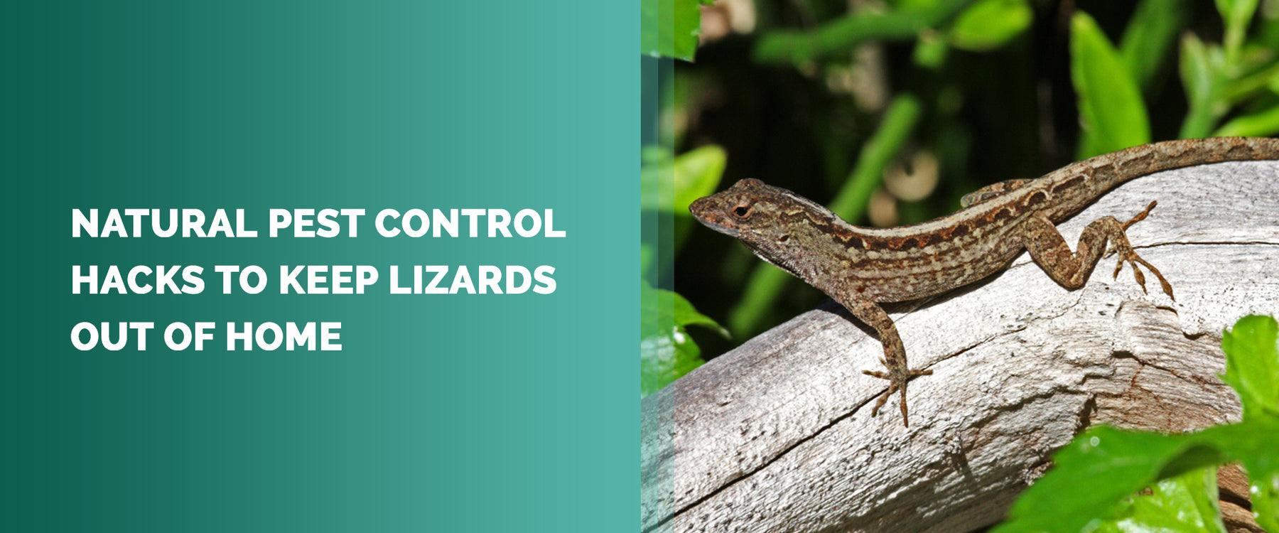 Natural Pest Control Hacks To Keep Lizards Out Of Home