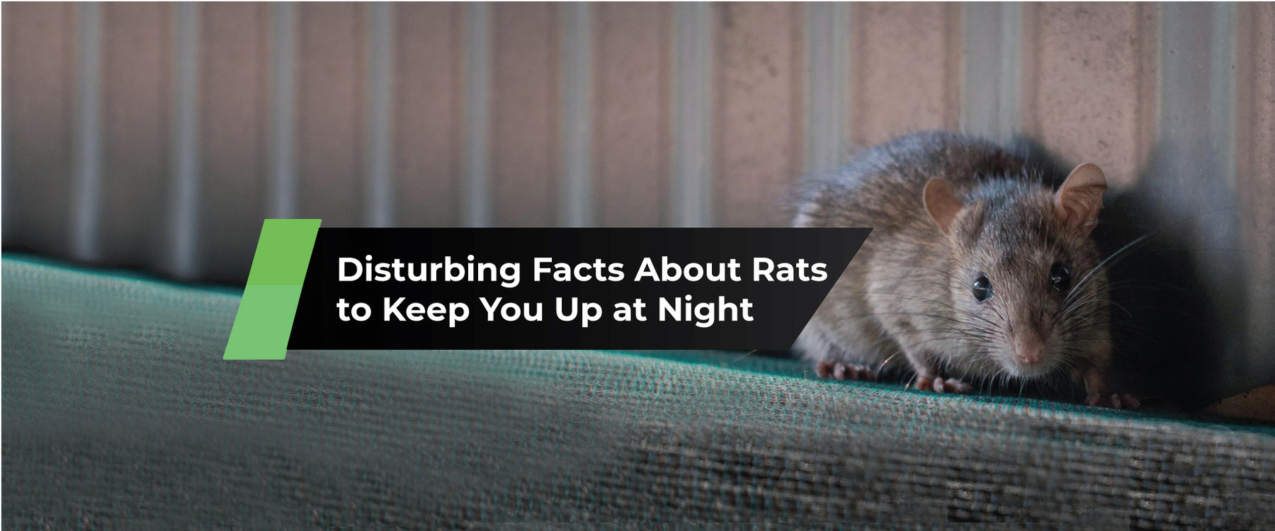 Disturbing Facts About Rats to Keep You Up at Night