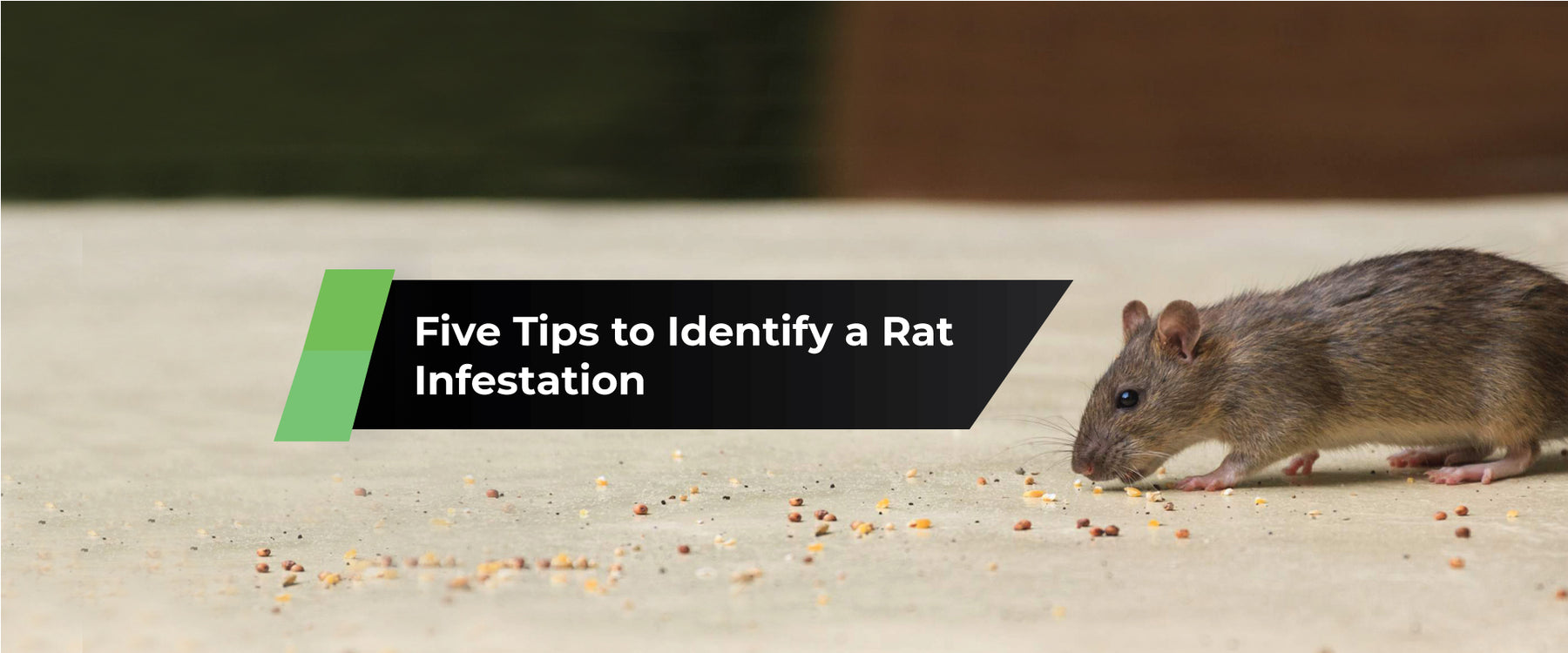 Five Tips to Identify a Rat Infestation