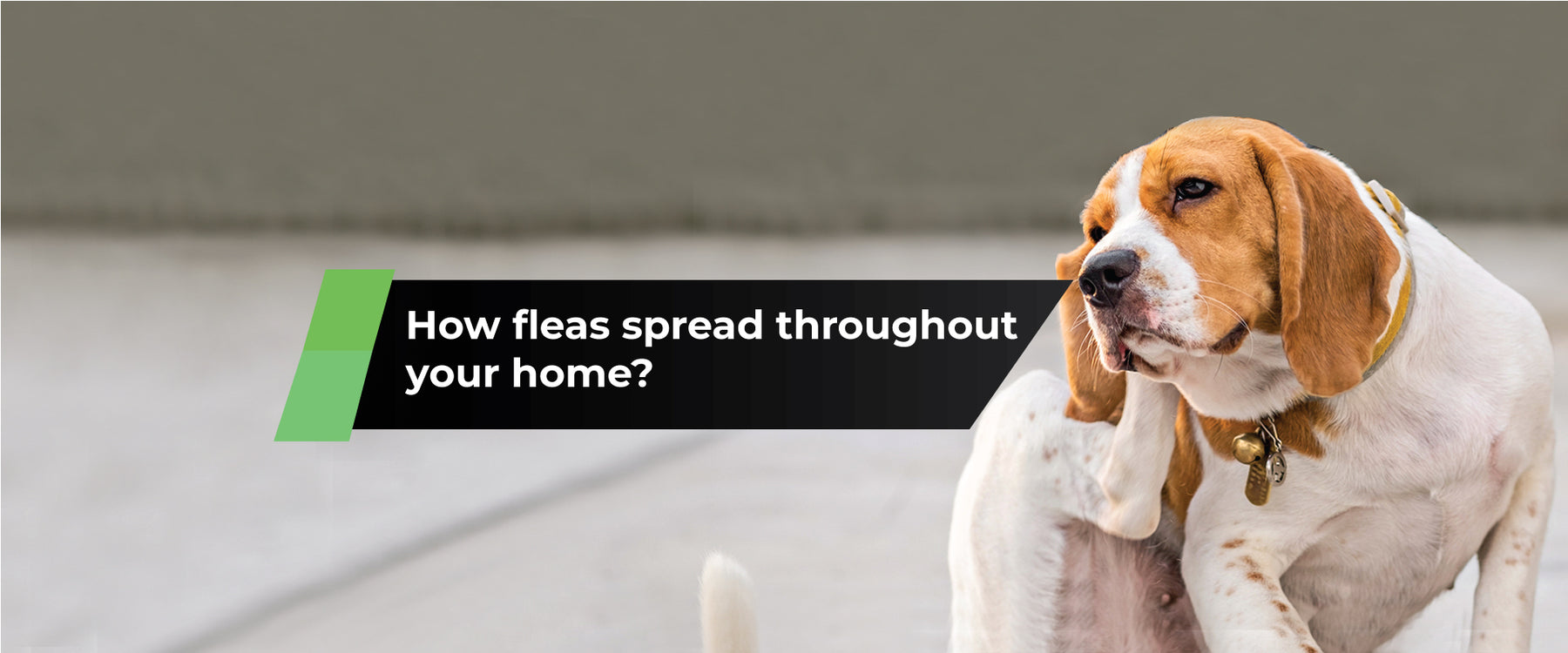 How Fleas Spread throughout your Home (and what you can do about it)