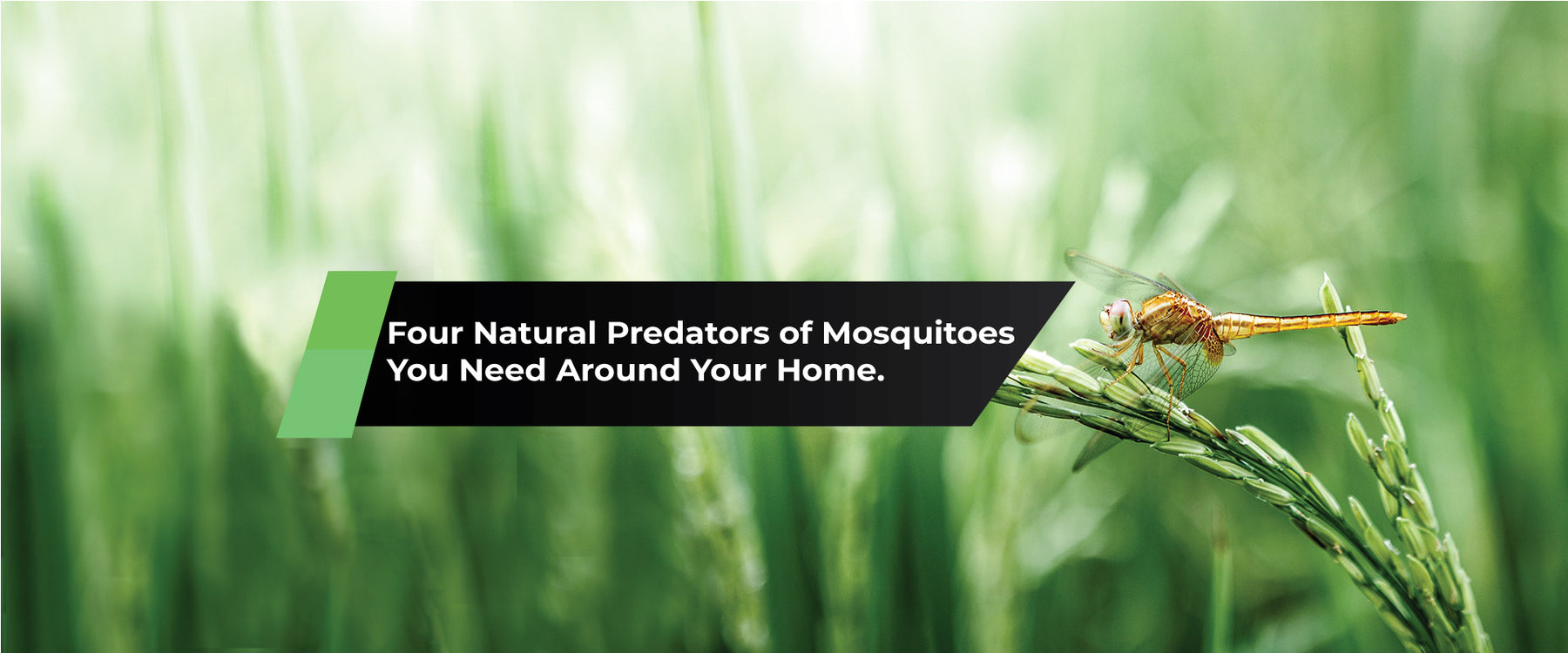 Four Natural Predators of Mosquitoes You Need Around Your Home