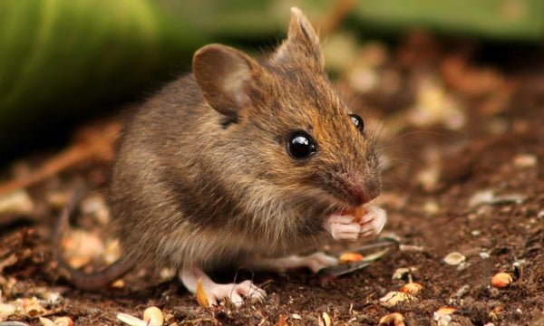 Outdoor Rodent