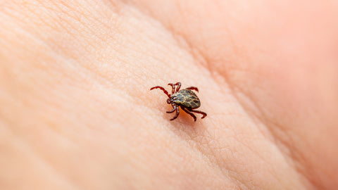 Ticks can latch themselves onto you and feed on you for several days