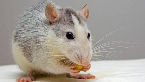 Rat's teeth are also remarkably strong