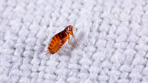 How long can fleas live in your home?