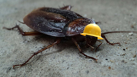 CAN COCKROACHES LIVE WITHOUT HEAD?