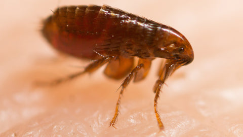 How can a single flea be a threat?