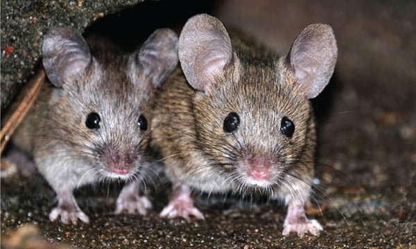 Rodents