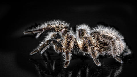There are spiders around the world that can eat bats and fish