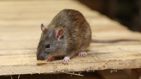 Search if you can find an actual rodent in your home