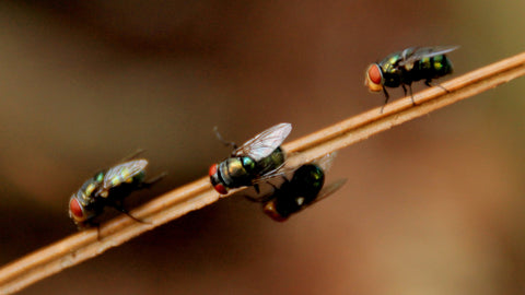 A housefly can multiply itself at alarming rates and in a short amount of time