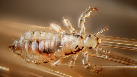 Head lice cannot jump, swim or fly