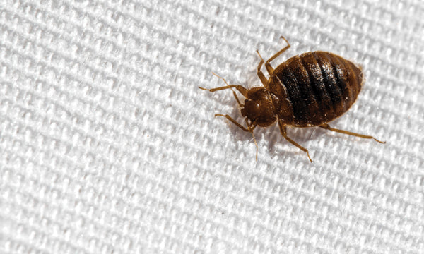 Kill the Bed Bugs