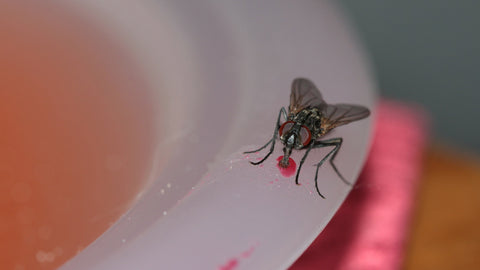A housefly can ingest food only in liquid form