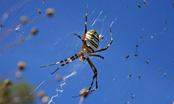 Spiders climate