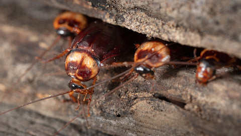 FEMALE COCKROACH CAN LAY 14 TO 36 EGGS AT A TIME