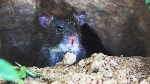 Rats can squeeze into impossible spaces