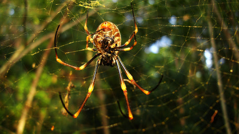 Spiders in urban spaces are larger than in any other place