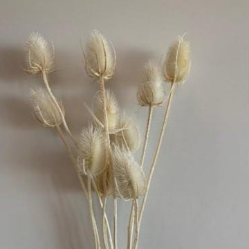 A bunch of dried white thistle stems available at Rook & Rose