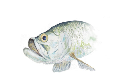 Original - Tarpon Portrait